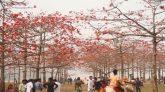 ঘুরে আসুন তাহিরপুরের রক্তরাঙা শিমুল বাগান