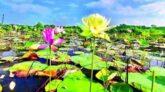 বিশ্বের প্রথম হলুদ পদ্মের দেখা মিলল বাংলাদেশে